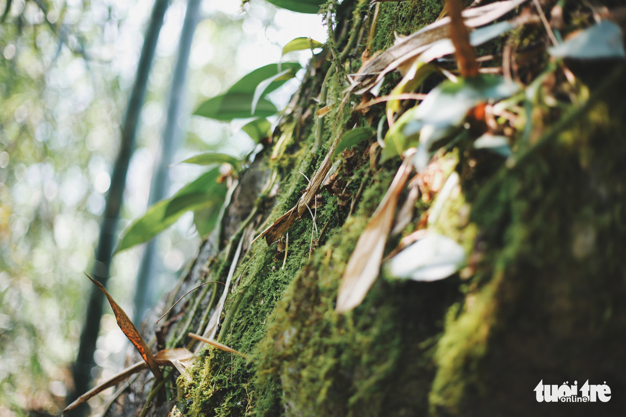 A close-up photo of the vegetation in Tong Pang village, Lam Thuong Commune, Luc Yen District, Yen Bai Province, Vietnam. Photo: Mai Thuong / Tuoi Tre