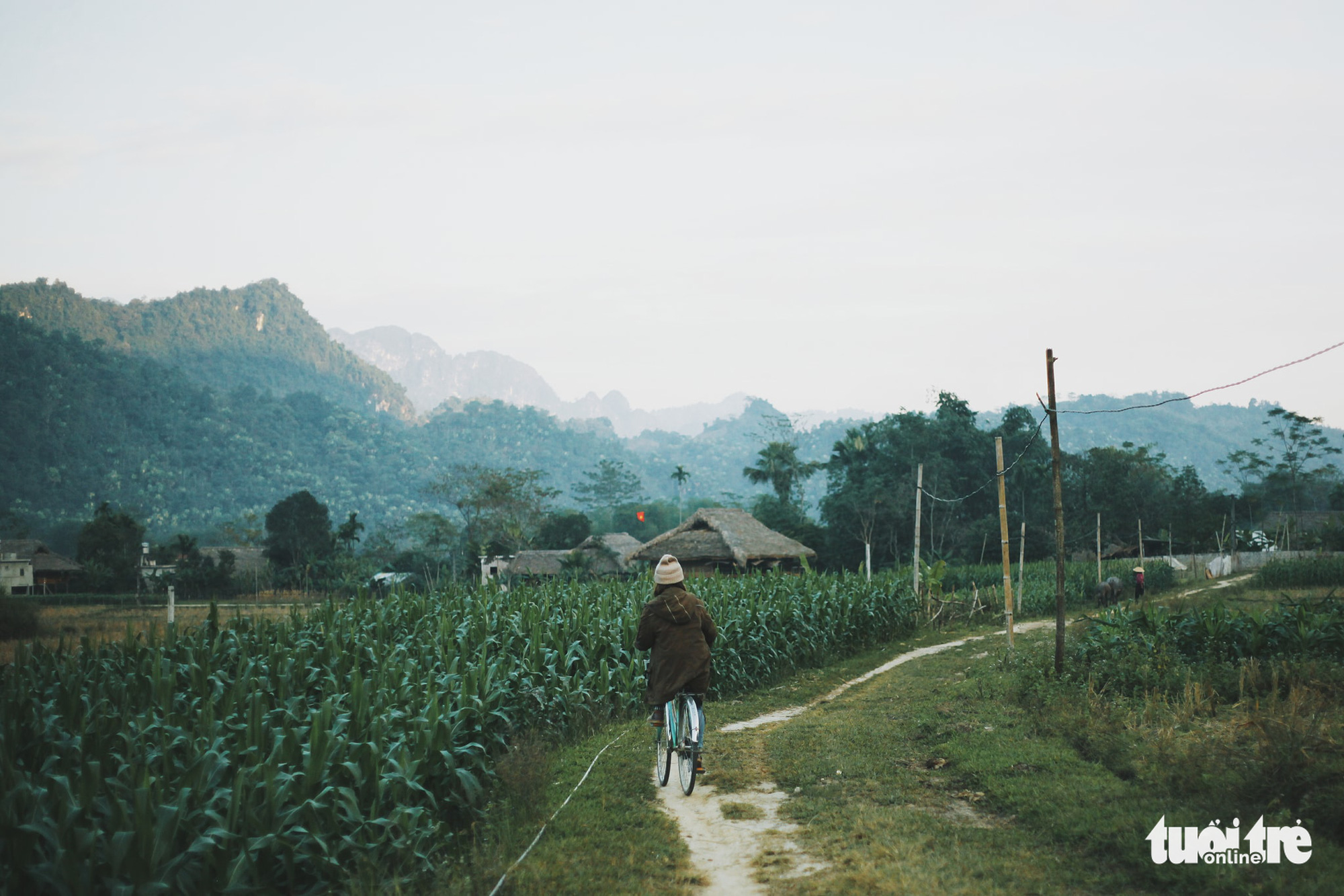 A visitor rides a bicycle on a dirt road next to the cornfields in Tong Pang Village, Lam Thuong Commune, Luc Yen District, Yen Bai Province, Vietnam. Photo: Cam Tien / Tuoi Tre