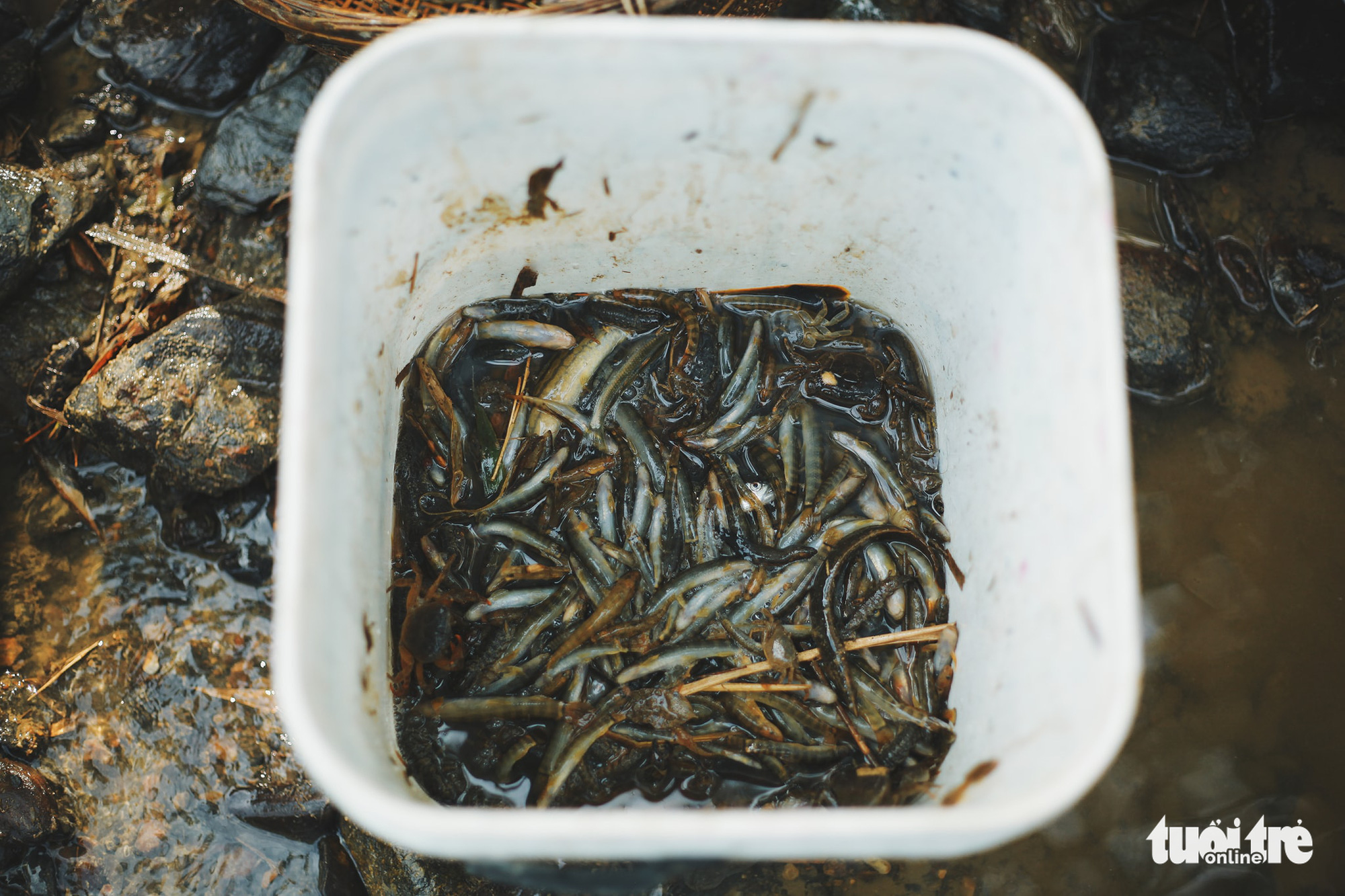 Eel freshly caught by the Tay people in Tong Pang Village sit in a bucket in Lam Thuong Commune, Luc Yen District, Yen Bai Province, Vietnam. Photo: Mai Thuong / Tuoi Tre