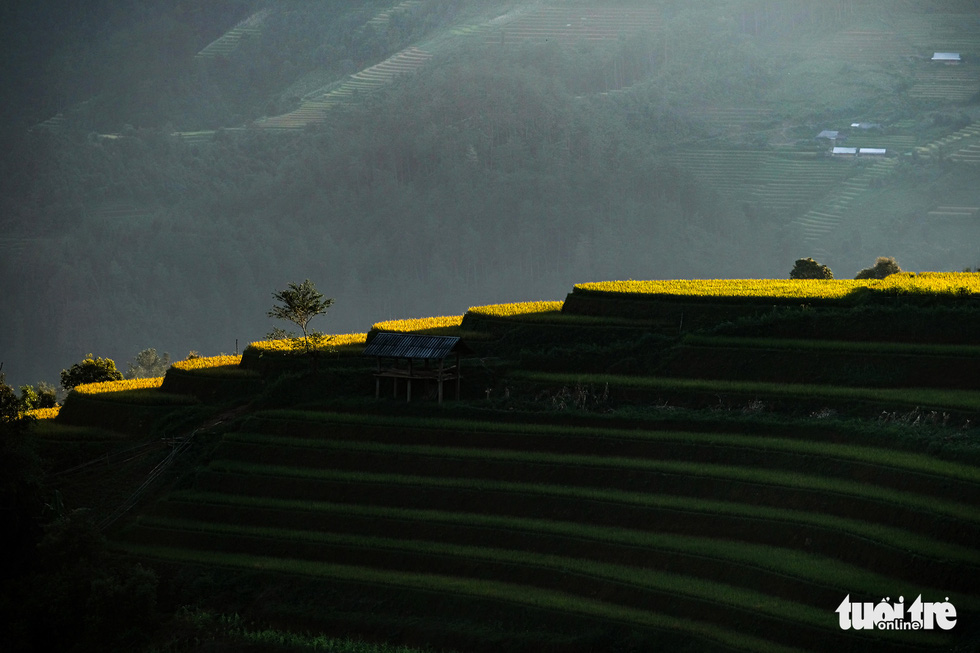 The sunset highlights yellow paddy fields of Mu Cang Chai during the harvest season. Photo: Nam Tran / Tuoi Tre