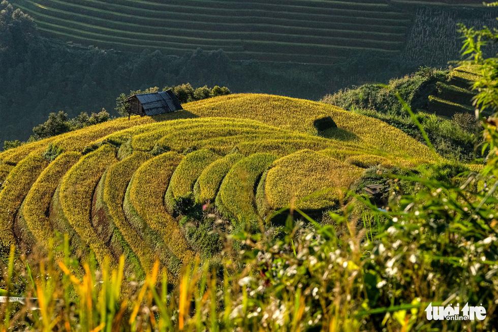 Terraced fields in Mu Cang Chai turn yellow and glitter in the sunshine. Photo: Nam Tran / Tuoi Tre