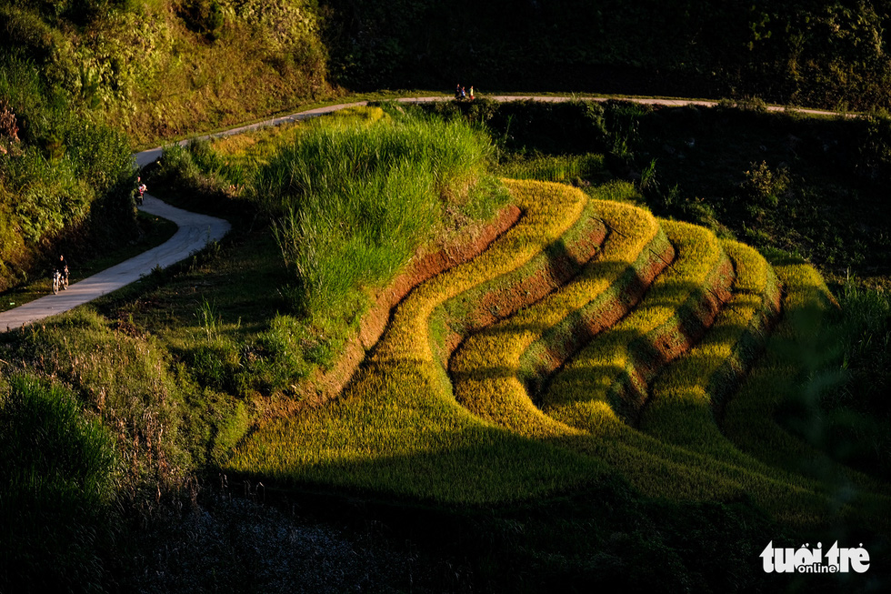 Local people carry their harvest home on crooked pathways through paddy fields in Mu Cang Chai District, Yen Bai Province, Vietnam. Photo: Nam Tran / Tuoi Tre