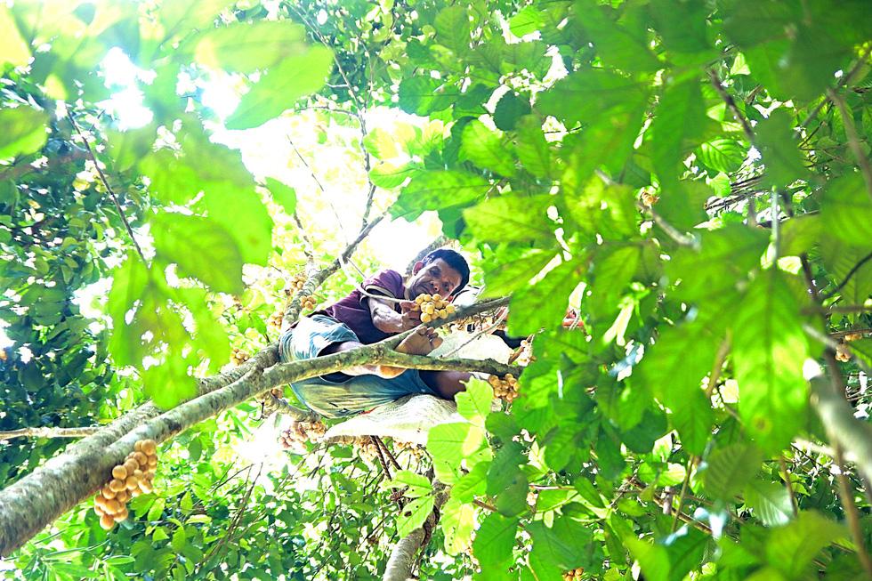 Langsat harvest season brings joy to ethnic people in central Vietnam