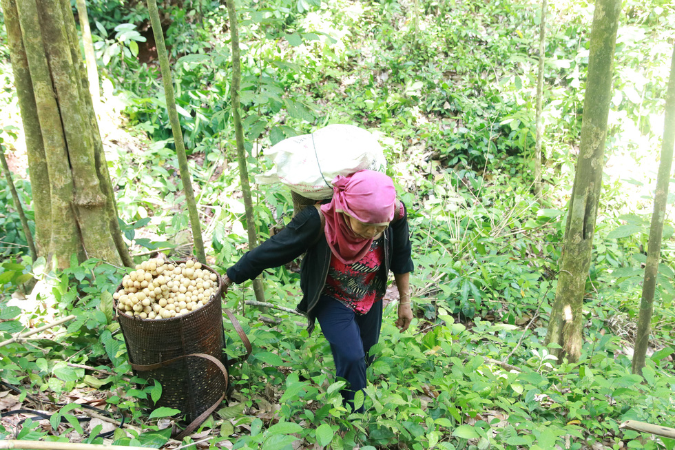 Post-harvested langsat fruits are brought out of forests right to traders