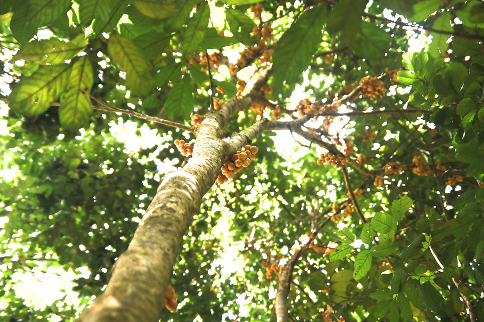 The most fruitful tree can produce nearly 100 kilograms of fruit