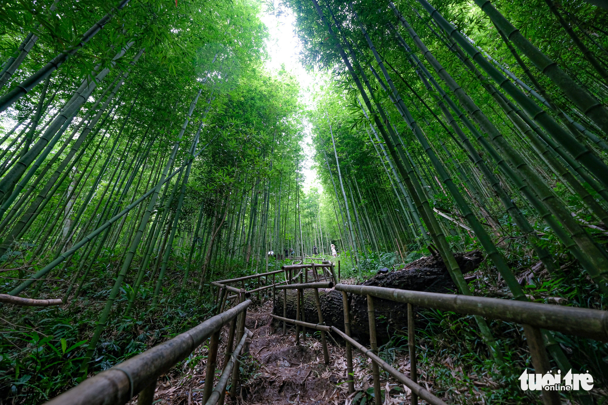 The breathtaking bamboo forest, called 'Na Hang Tua Chu', is located around 20 kilometers from the mountainous township of Mu Cang Chai, Yen Bai Province. Photo: Nam Tran -Ha Thanh/ Tuoi Tre