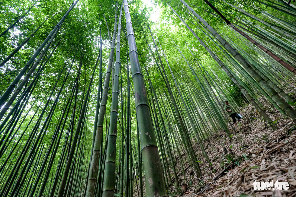 A man is searching for bamboo shoots, which is a popular specialty that can be harvested in the forest. Photo: Nam Tran - Ha Thanh / Tuoi Tre