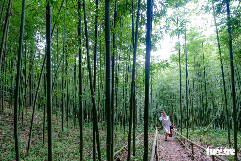A woman walks in a narrow path lined with bamboo trees. Photo: Nam Tran - Ha Thanh / Tuoi Tre