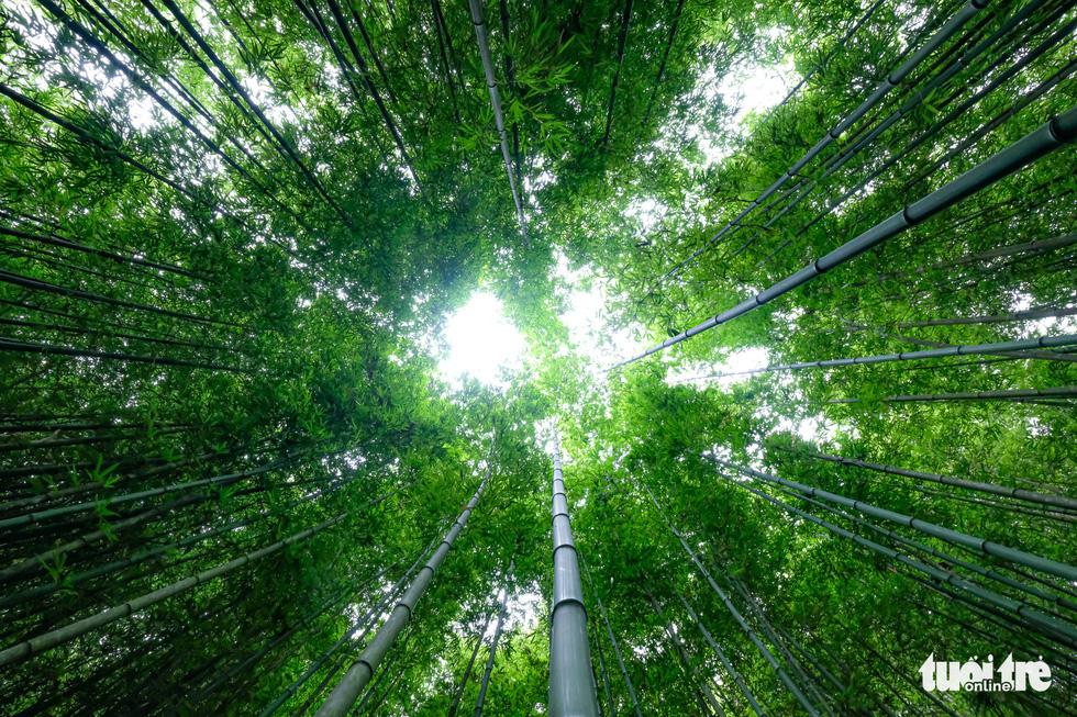 Bamboo trees grow straight to the sky. Photo: Nam Tran - Ha Thanh / Tuoi Tre