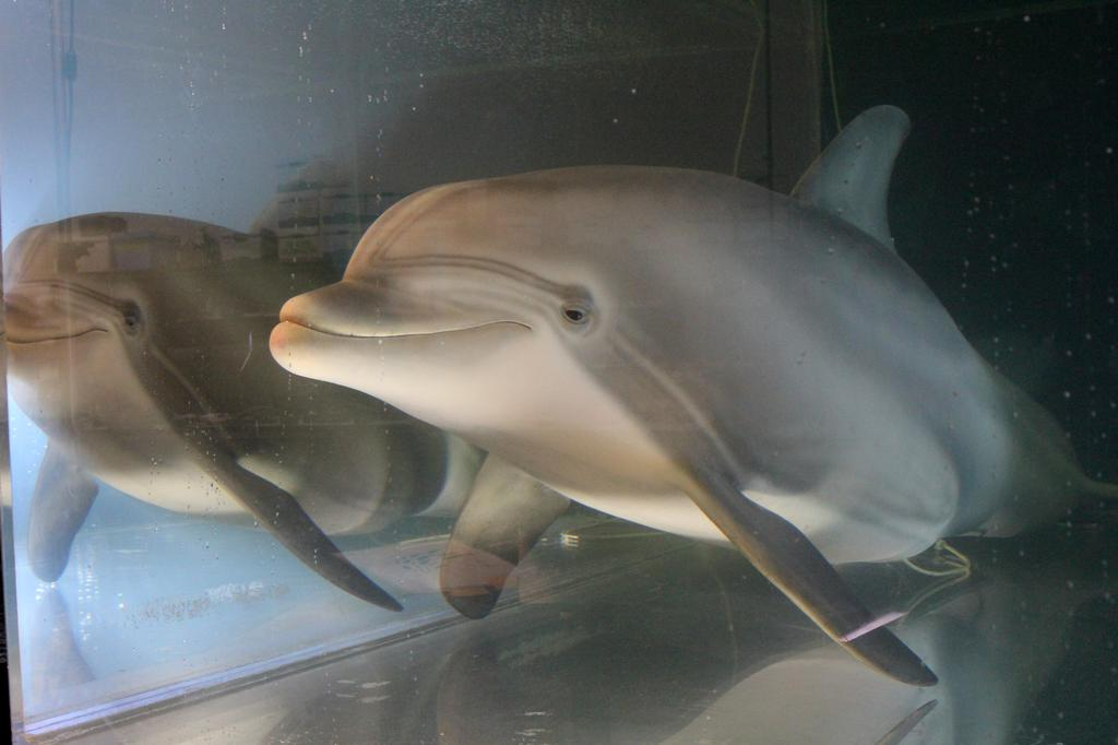 An animatronic dolphin built by Edge Innovations is seen in a tank at the company's warehouse in Fremont, California, U.S., September 30, 2020. Picture taken September 30, 2020. Photo: Reuters