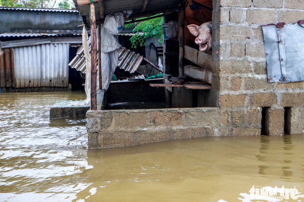 Farmed pigs are moved to higher places as flood water rises in Quang Phuoc Commune, Quang Dien District, Thua Thien-Hue Province on October 16, 2020. Photo: Nguyen Khanh / Tuoi Tre