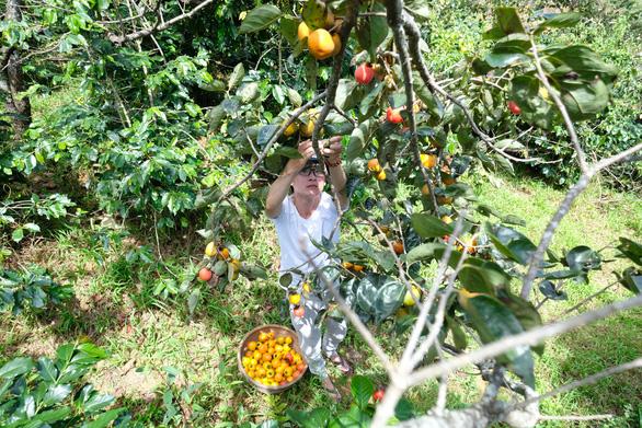 Farmer collects persimmon in Da Lat City. Photo: Mai Vinh / Tuoi Tre