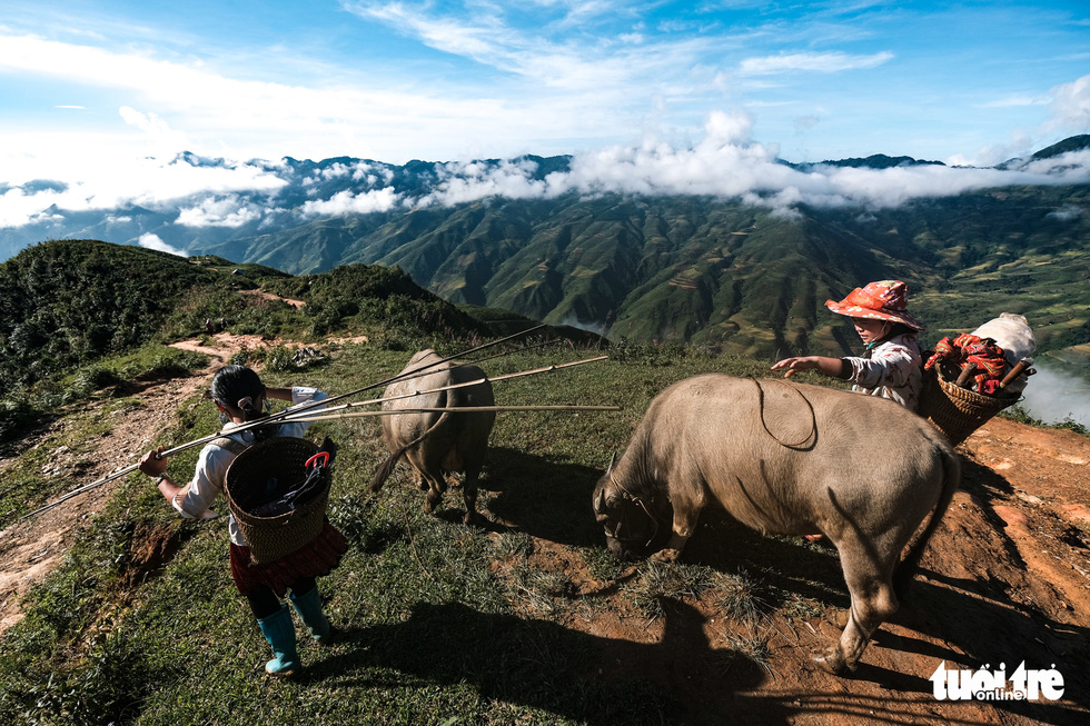 Hmong women herd buffalos down to the 'dinosaur backbone' at Ta Xua mountain range, Bac Yen District, Son La Province, Vietnam. Photo: Nam Tran / Tuoi Tre