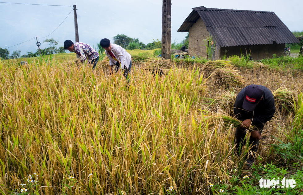 Ha Nhi Den youths harvest rice on the field. Photo: Nguyen Duy / Tuoi Tre