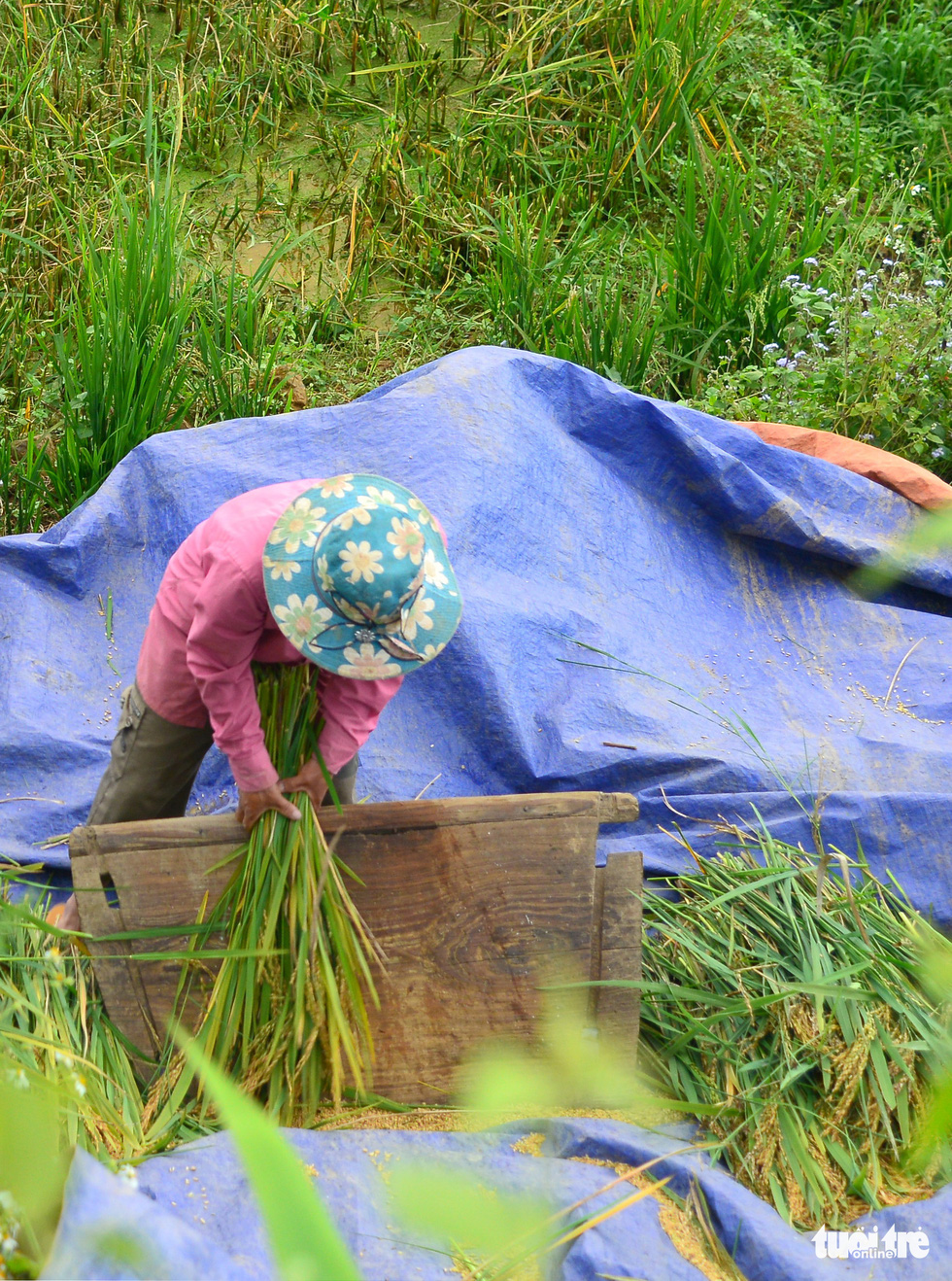 A farmer threshes rice in this photo taken in Y Ti Commune of Lao Cai Province. Photo: Nguyen Duy / Tuoi Tre