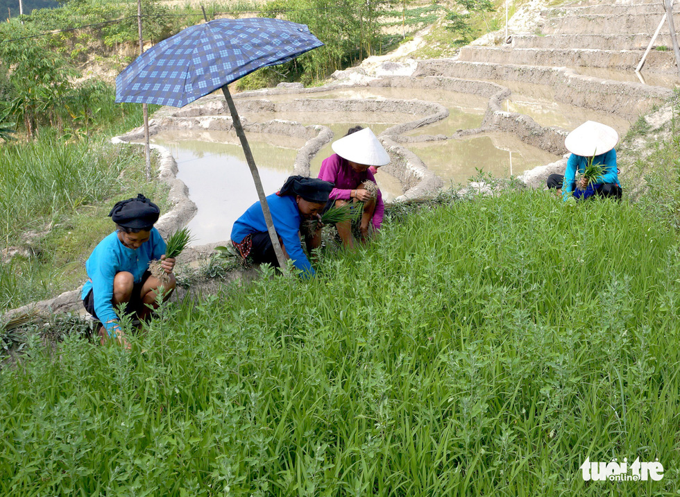 Farmers in Y Ti Commune of Lao Cai Province uproot rice seedlings for transplant. Photo: Van Hai / Tuoi Tre