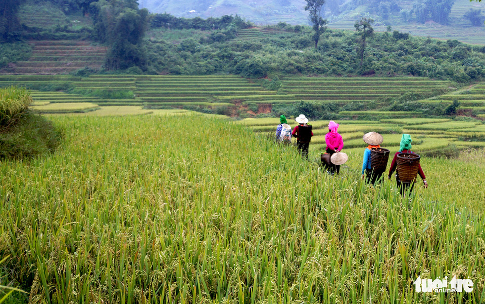 Farmers in Y Ti Commune of Lao Cai Province visit the rice field. Photo: Nguyen Duy / Tuoi Tre