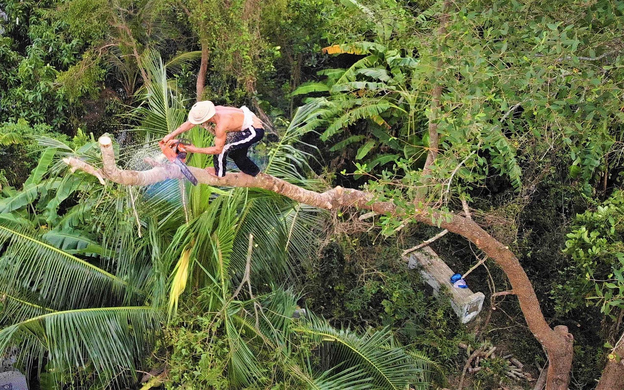 Pham Thanh Tung climbs on a tree to cut it down with his chainsaw. Photo: Mau Truong / Tuoi Tre