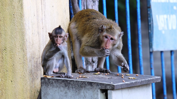Monkey troops go ape near Caodaist Holy See in southern Vietnam