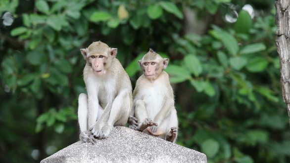 Two monkeys are seen in this photo taken in the Caodaist Church of Tay Ninh Province. Photo: Tuan Anh / Tuoi Tre
