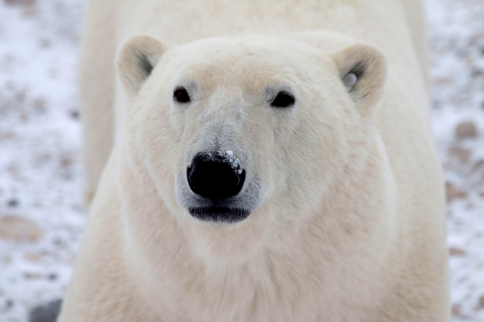 Remote Canadian town programs radar to spot approaching polar bears