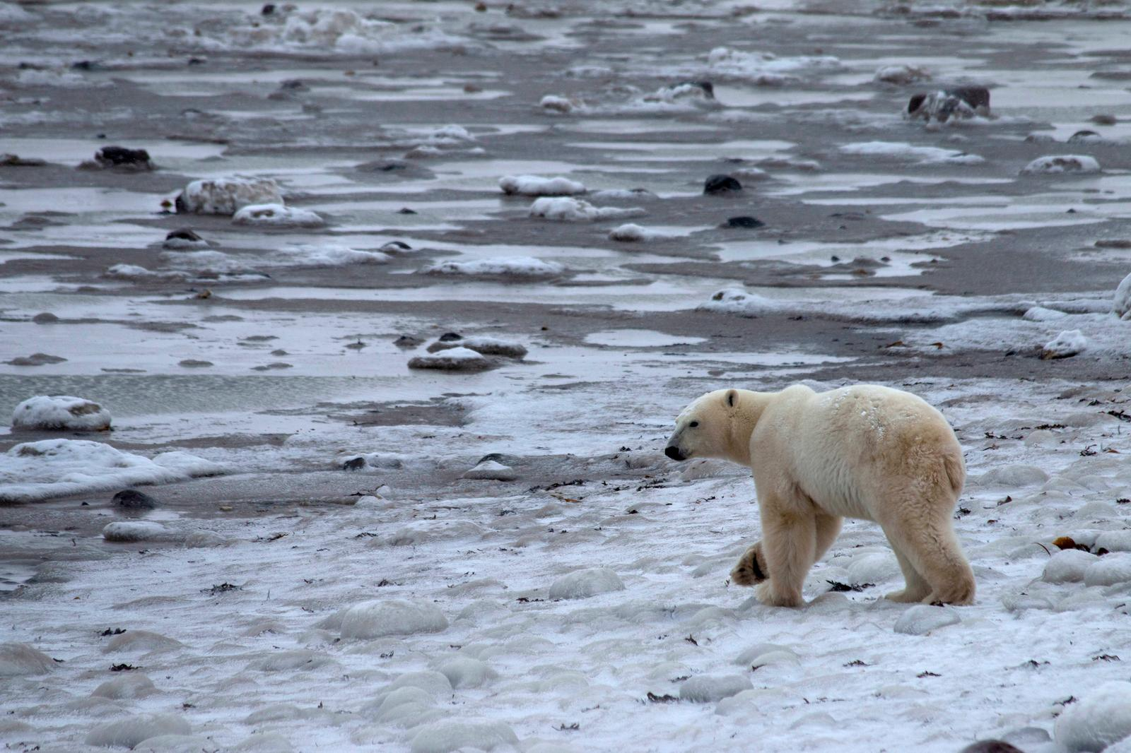 A young male polar bear waits for the sea ice to return in the Churchill Wildlife Management Area, Manitoba, Canada, October 28, 2020. Photo: Reuters