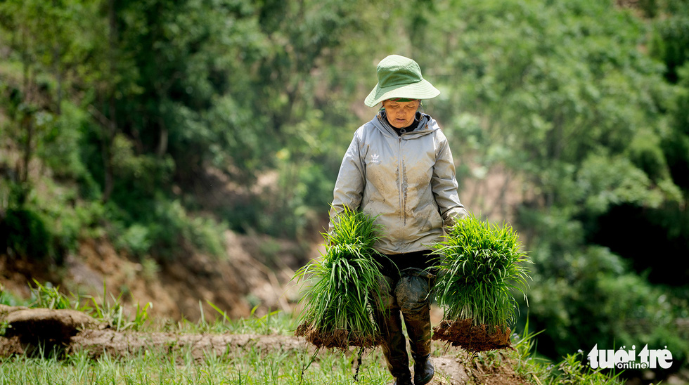 A farmer fetches bundles of rice seedlings in this photo taken in Sa Pa Town. Photo: Nguyen Sieu Hanh