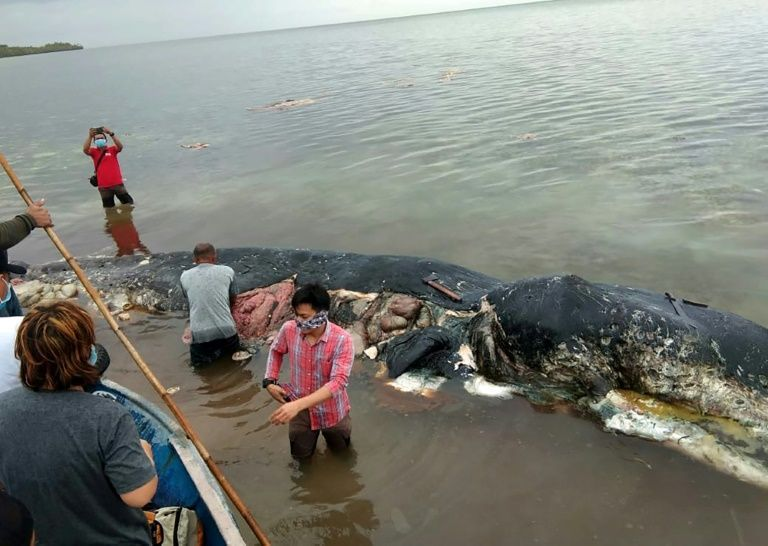 This picture taken on November 19, 2018 shows a dead sperm whale that washed ashore that had nearly six kilograms (13.2 lbs) of plastic waste in its stomach, in Wakatobi National Park in Sulawesi province. Photo: AFP