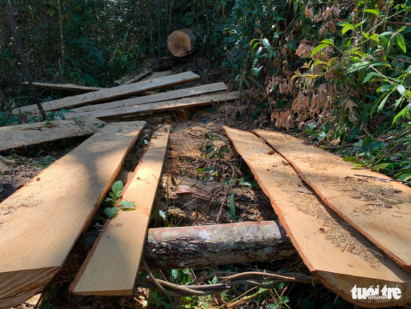 Plywood lies on the ground at the primary forest in Da Don Commune, Lam Ha District, Lam Dong Province, November 17, 2020. Photo: M.V. / Tuoi Tre