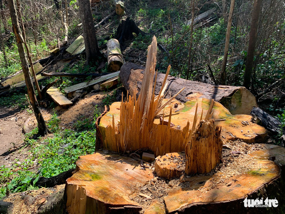 A large tree is felled at the primary forest in Da Don Commune, Lam Ha District, Lam Dong Province, November 17, 2020. Photo: M.V. / Tuoi Tre