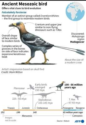Graphic on an ancient bird that lived alongside dinosaurs, whose fossilised remains found in Madagascar sheds new light on the evolution of bird diversity. Photo: AFP