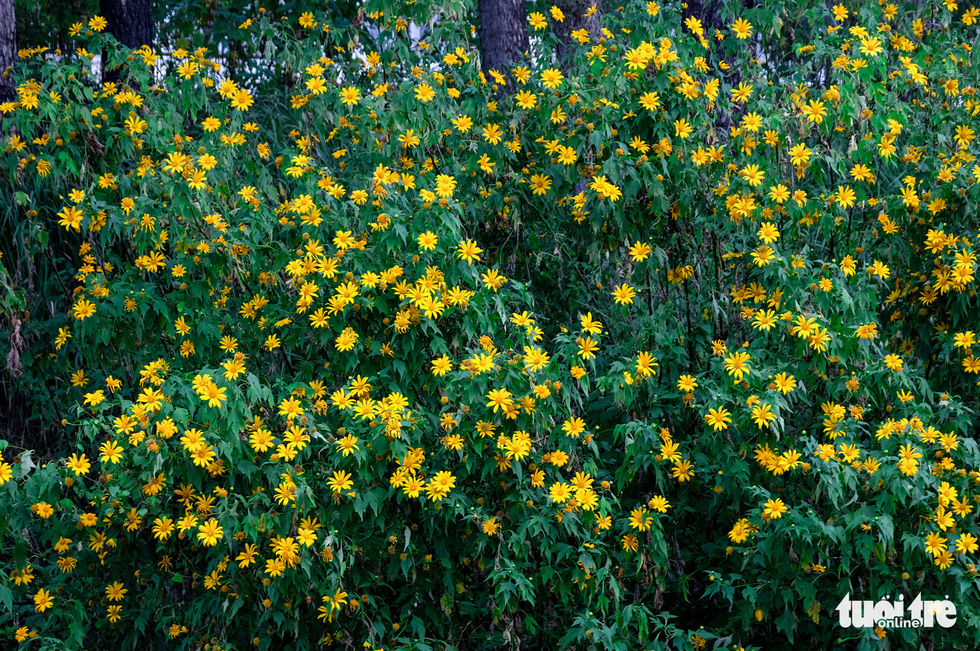 Bushes of wild sunflowers in Dalat City, Lam Dong Province, Vietnam. Photo: Duc Tho / Tuoi Tre