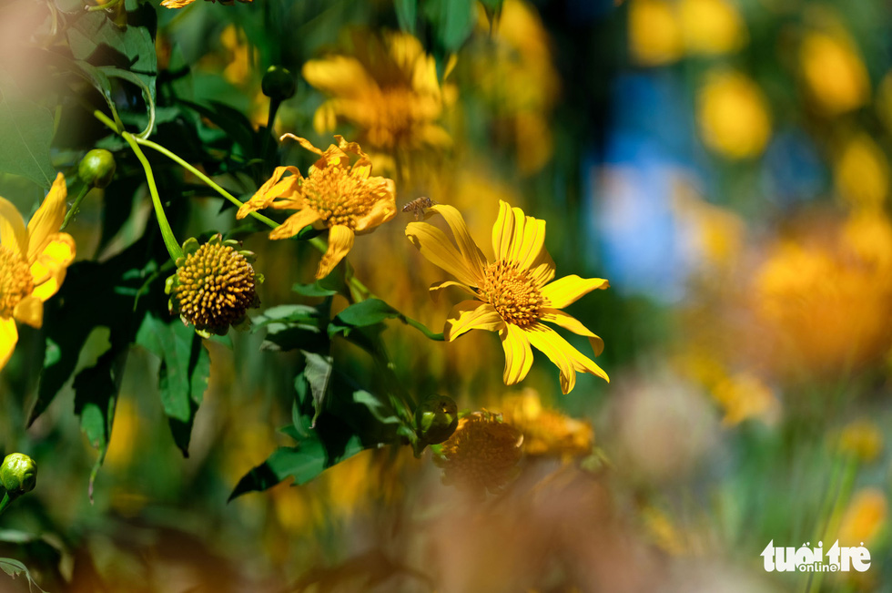 A close-up of wild sunflowers in full bloom in Dalat City, Lam Dong Province, Vietnam. Photo: Duc Tho / Tuoi Tre