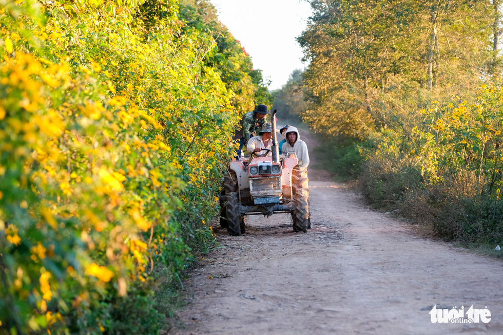 Farmers at Tu Tra Commune, Don Duong District, Lam Dong Province return home after work on a red soil road lined with wild sunflower bushes. Photo: Duc Tho / Tuoi Tre