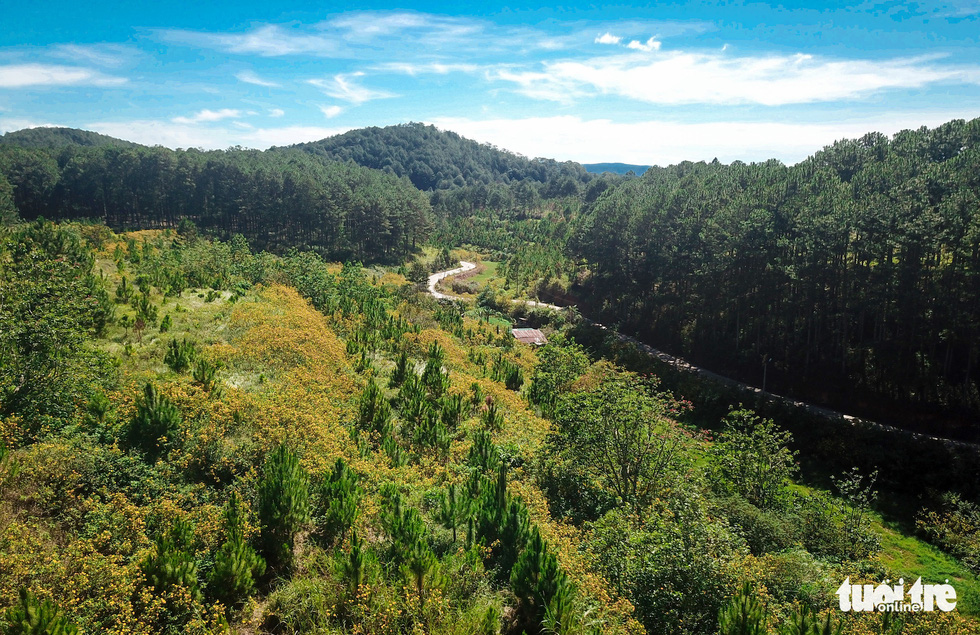 A bird's eye view of pine forests and wild sunflower hills at the entrance of Tuyen Lam Lake, Dalat City, Lam Dong Province, Vietnam. Photo: Duc Tho / Tuoi Tre