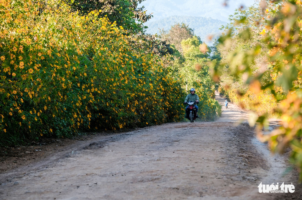 A resident rides a motorbike along a road lined with wild flower bushes in Dalat City, Lam Dong Province, Vietnam. Photo: Duc Tho / Tuoi Tre