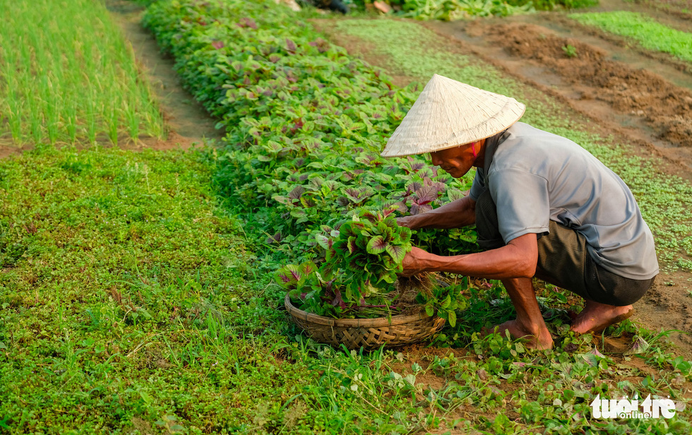 A Tra Que Farmer harvests vegetable. Photo: Gia Thinh / Tuoi Tre