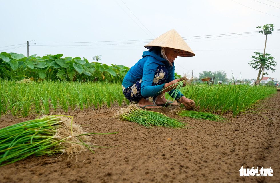 A Tra Que farmer grows bulbs of green onion. Photo: Gia Thinh / Tuoi Tre