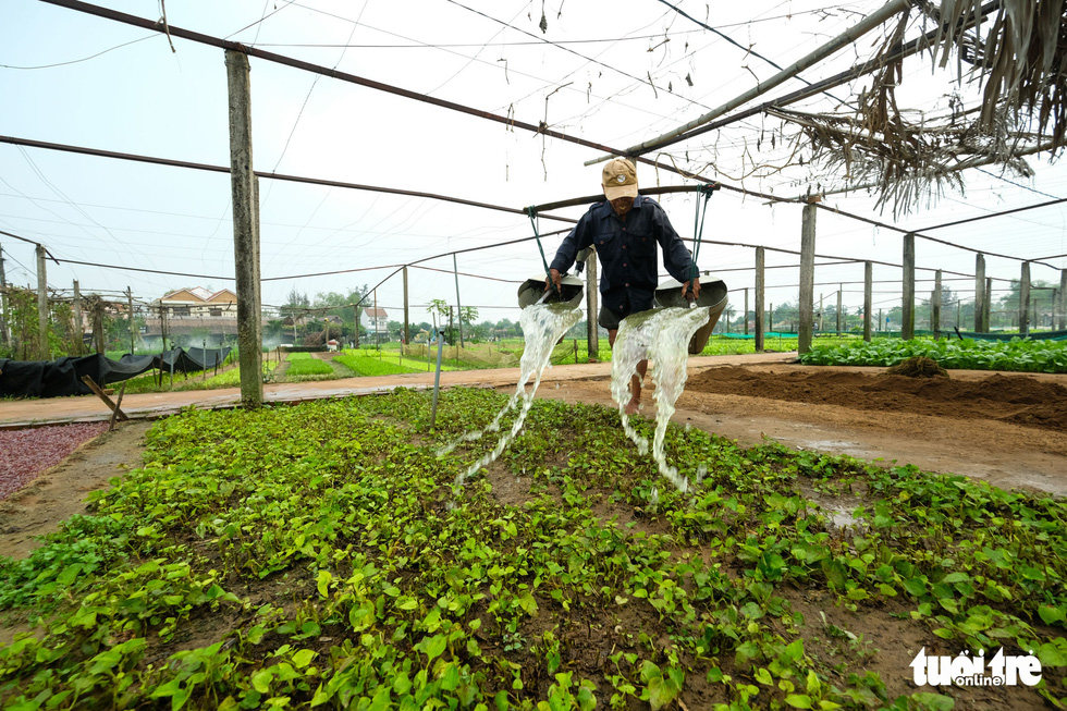 A Tra Que farmer waters his plants manually. Photo: Gia Thinh / Tuoi Tre