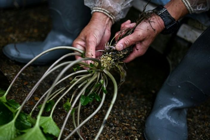 In this picture taken on November 24, 2020, a man removes leaves from a wasabi root at a farm in Ikadaba in the city of Izu, Shizuoka prefecture. Photo: AFP