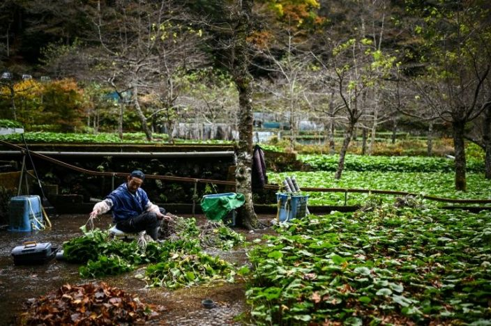 In this picture taken on November 24, 2020, a man cultivates wasabi at a farm in Ikadaba in the city of Izu, Shizuoka prefecture. Photo: AFP