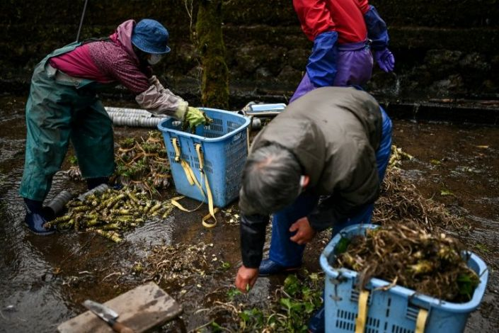 In this picture taken on November 24, 2020, people sort wasabi roots at a farm in Ikadaba in the city of Izu, Shizuoka prefecture. Photo: AFP