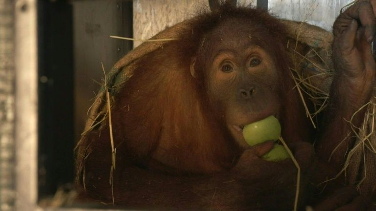 A Sumatran orangutan sits in a cage before being repatriated from Thailand to Indonesia after having been smuggled into the kingdom, at Suvarnabhumi Airport in Bangkok in December 17, 2020. Photo: AFP