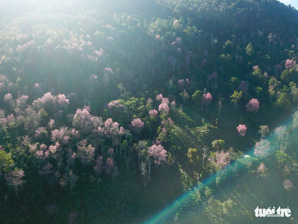 A forest of mai anh dao is seen on the mountainside of Lang Biang. This is among areas in Da Lat that has seen the first blossom. Photo: Duc Tho/ Tuoi Tre