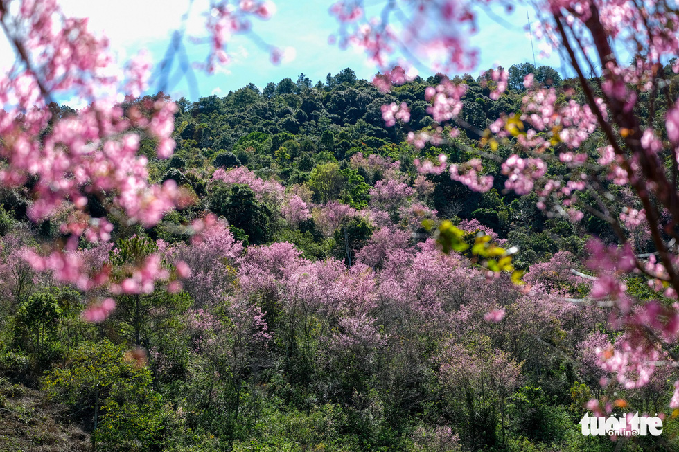 Mai anh dao flowers blossom on a mountain in the Central Highlands city of Da Lat in late December 2020. Photo: Duc Tho/ Tuoi Tre