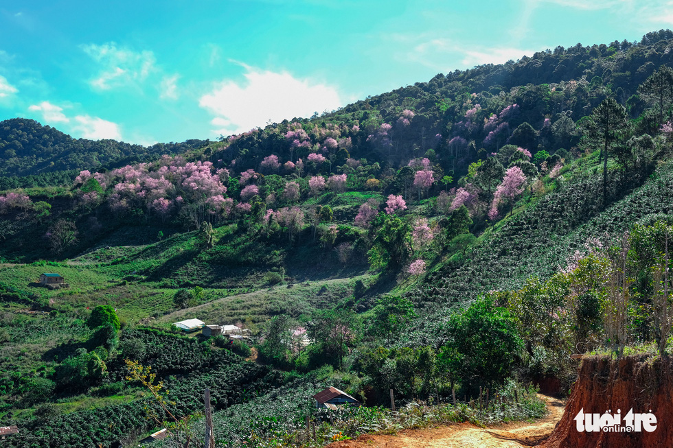 Mai anh dao flowers blossom at Lat Commune in the Central Highlands Province of Lam Dong's Lac Duong District in late December 2020. Photo: Duc Tho/ Tuoi Tre