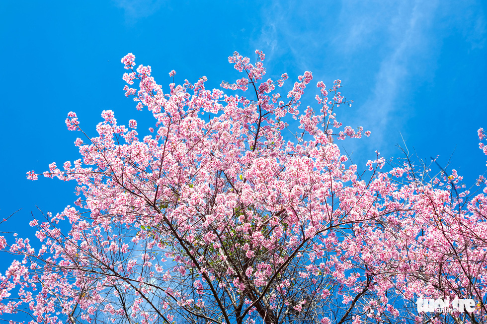 A photo captures a mai and dao tree in its bloom with all the leaves having fallen down. Photo: Duc Tho/ Tuoi Tre