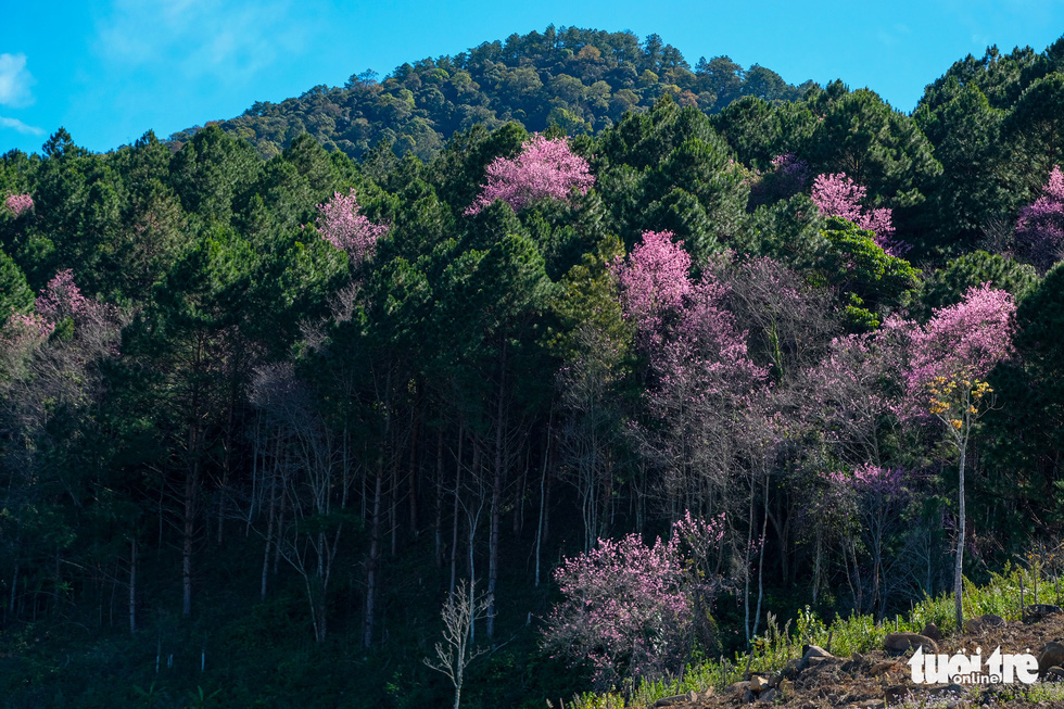Mai and dao flowers blossom in a forest in the outlying area around Da Lat in late December 2020. Photo: Duc Tho/ Tuoi Tre