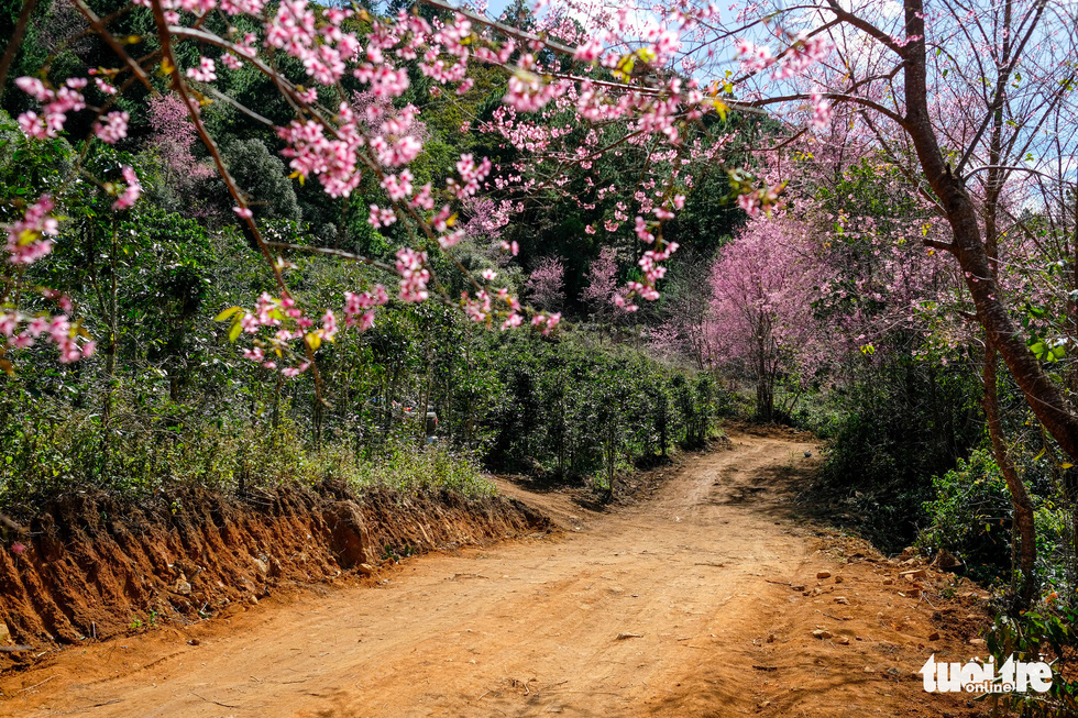 Mai anh dao flowers are blossoming along a road to a coffee farm in Da Lat. Photo: Duc Tho/ Tuoi Tre