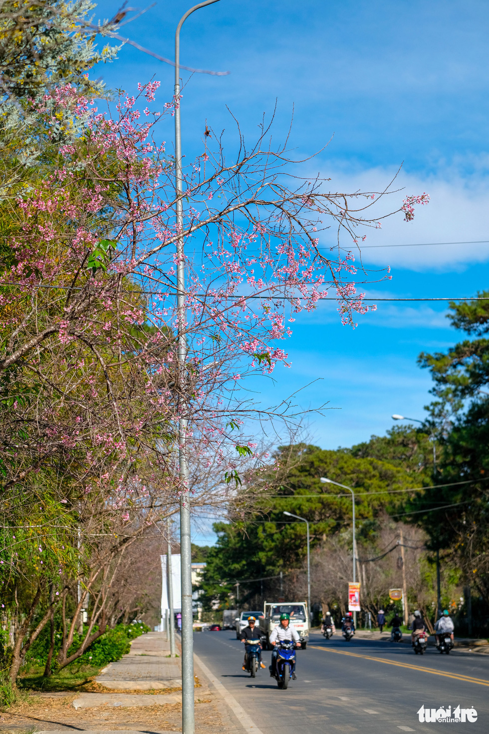 Mai anh dao starts to blossom on Tran Hung Dao Street in Da Lat in late December 2020. Photo: Duc Tho/ Tuoi Tre